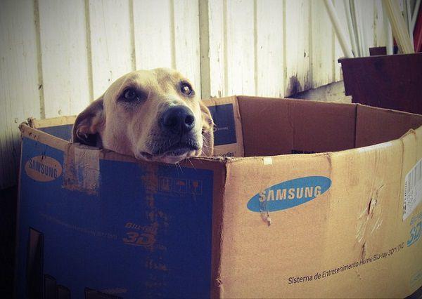 段ボール箱に入った犬