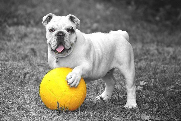 黄色いボールを踏むブルドッグ