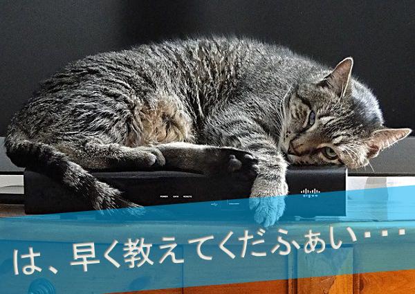 眠くて今にも寝そうなネコ