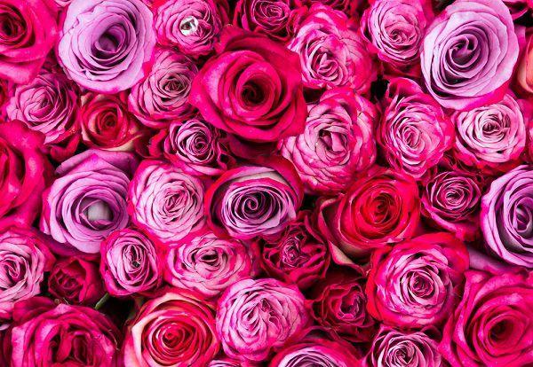 100本のピンクのバラ