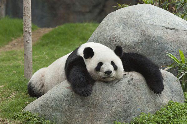 動物園のパンダ