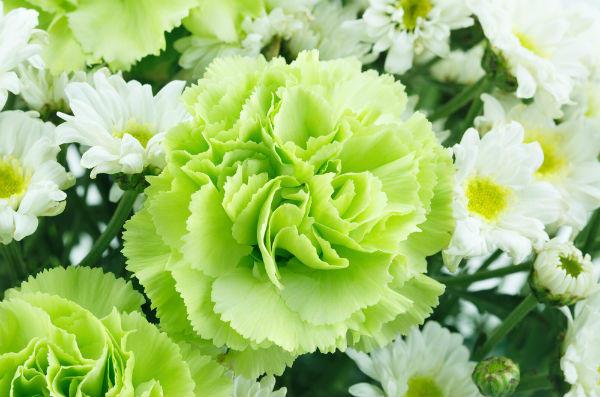 緑色のカーネーション