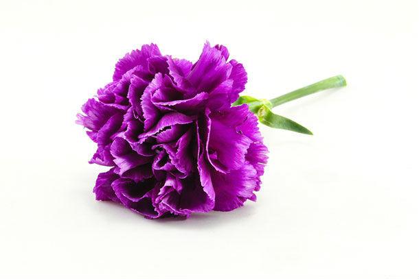 紫色のカーネーション