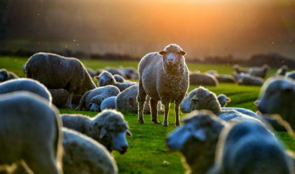 羊の数え方